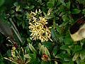 Ixora ¿ species ? (2095408082).jpg