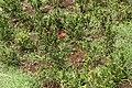 Ixora coccinea 14zz.jpg