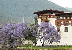 Jacaranda trees in Bhutan