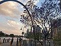 Jacaranda in bloom.jpg