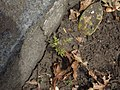 Jacaranda mimosifolia D.Don (AM AK298858-2).jpg