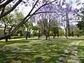 Jacarandas en la Universidad Autónoma de Aguascalientes 21.JPG