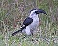 Jackson's Hornbill (Tockus jacksoni) female (20557964413).jpg