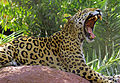 Jaguar yawn 1.jpg
