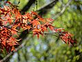 Japanese Maple - Flickr - treegrow.jpg