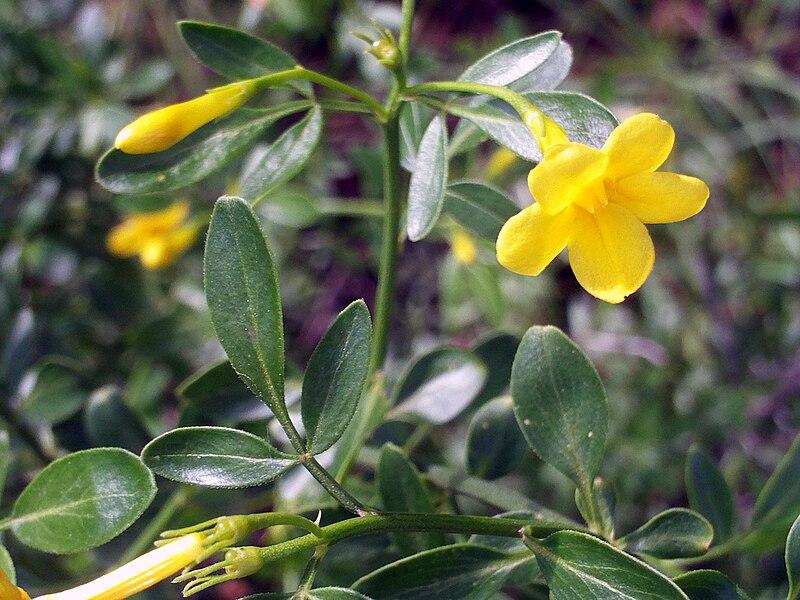 JAZMÍN: Jasminum officinale | rioMoros