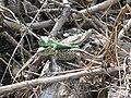 Jaszczurka zwinka kopulacja 02.jpg
