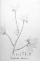 Jatropha hamosa Pohl49.png