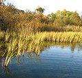Jezioro Zawadzkie turzycowisko.jpg