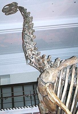 Jobaria tiguidensis, Skelett im Australian Museum in Sydney.