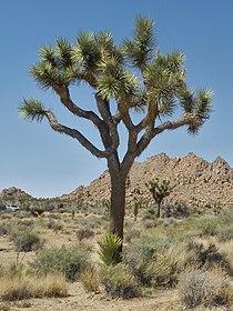 Joshua Tree Nationalpark P4130402.jpg
