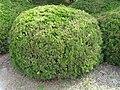 Juniperus chinensis 'Globosa'1.jpg