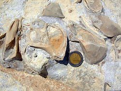 Fossil gastropod and attached mytilid bivalves on a Jurassic limestone bedding plane in southern Israel.