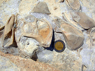 Fossil gastropod and attached mytilid bivalves on a Jurassic limestone bedding plane of the Matmor Formation in southern Israel. JurassicMarineIsrael.JPG