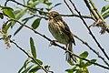 Juvenile Reed Bunting (35210371851).jpg