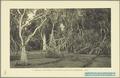 KITLV - 37333 - Demmeni, J. - Tulp, De - Haarlem - Pandanus tectorius (Tahitian screwpine) in the botanical garden Buitenzorg (Bogor) - 1911.tif