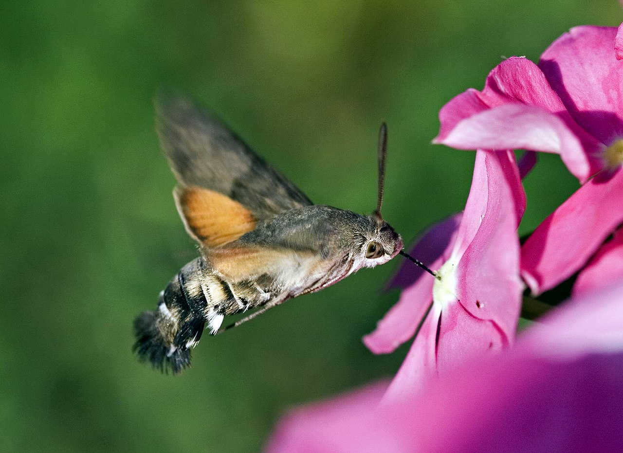 UK to be invaded by moth that thinks its a hummingbird