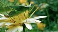 Katydid on calendula flower (6083962437).png