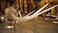 Kentrosaurus tail.jpg