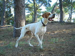 Pointer (dog breed) - Orange and white Pointer pointing