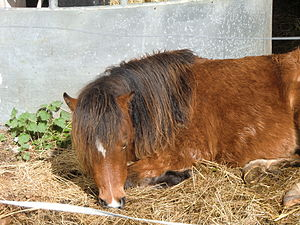 Kerry Bog Pony - A pony at the Kerry Bog Village Museum
