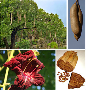 Kigelia - Kigelia africana: habit, fruit, flower, seeds.