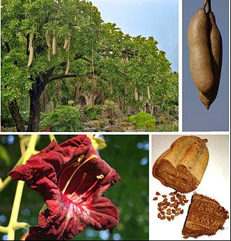 Kigelia - K. africana habit, fruit, flower and seeds