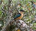 Kingfisher 1 (31683182350).jpg
