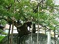 Kirschbaum und grosser Stein 5.JPG