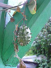 KiwanoSamenHorngurke (Cucumis metuliferus) Exot super lecker