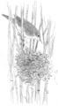 Kleine karekiet Acrocephalus scirpaceus Jos Zwarts 7.tif