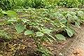 Kluse - Physalis philadelphica - Tomatillo 28 ies.jpg