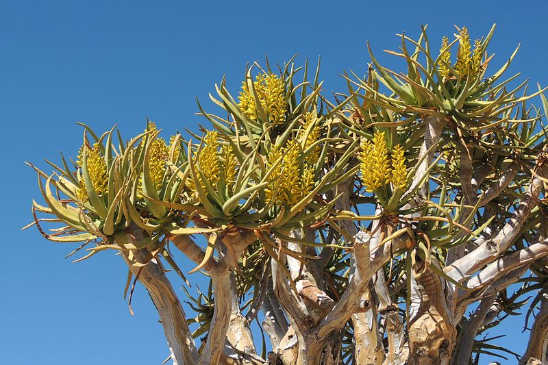 File:Kokerboom flowers.jpg