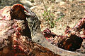 Komodo Dragon Eating Rinca.jpg
