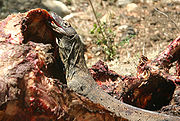 Young Komodo dragon photographed on Rinca feeding on a water buffalo carcass