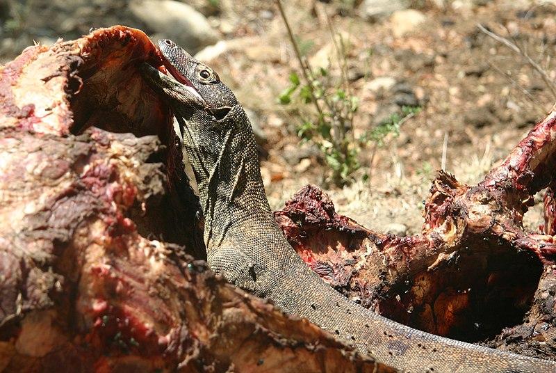 File:Komodo Dragon Eating Rinca.jpg