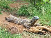Komodo dragon01.JPG