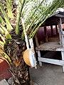 Kora, instrument de musique en pays Mandingue (appelé Griots) et utilisé aussi par les chasseurs traditionnel appelés Dozo 1.jpg