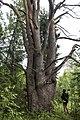 Krauču priede - pine - panoramio.jpg