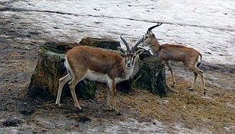 Goitered gazelle - Persian gazelle (Gazella subgutturosa subgutturosa) at Korkeasaari Zoo.