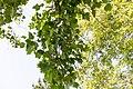 KulTour Parkanlage Sanssouci Stibadium Tulpenbaum-3313.jpg