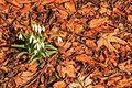 Kvetoucí sněženky v PP Sněženky ve Vysokém lese 50.jpg