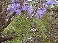 Kwiaty i liście jakarandy.JPG