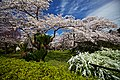 Kyoto, 桜, sakura, Botanical Garden - panoramio.jpg