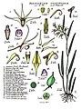 LR031 72dpi Dendrobium racemosum.jpg