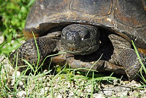 Lake Woodruff National Wildlife Refuge - Image: LWNWR Gopher Turtle 01