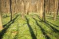 L 57 Stormsdorfer Bachtal (Wolfsberger Wald) (7) - Frühling - Buchen - Buschwindröschenteppich.jpg