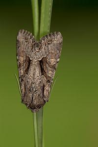 Lacanobia thalassina, Lodz(Poland)03(js).jpg