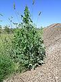 Lactuca serriola leaf7 (14629418531).jpg