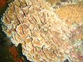 Lacy false corals at Lace Reef P5260334.jpg